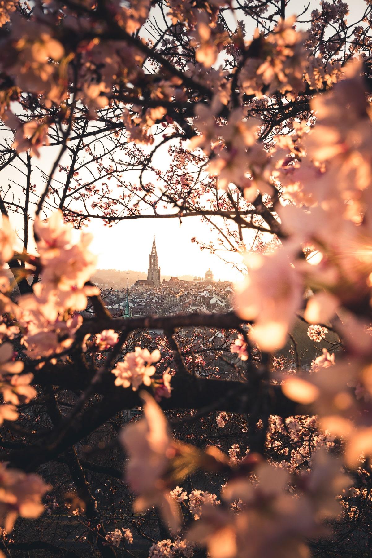 Rosengarten Kirschblüten
