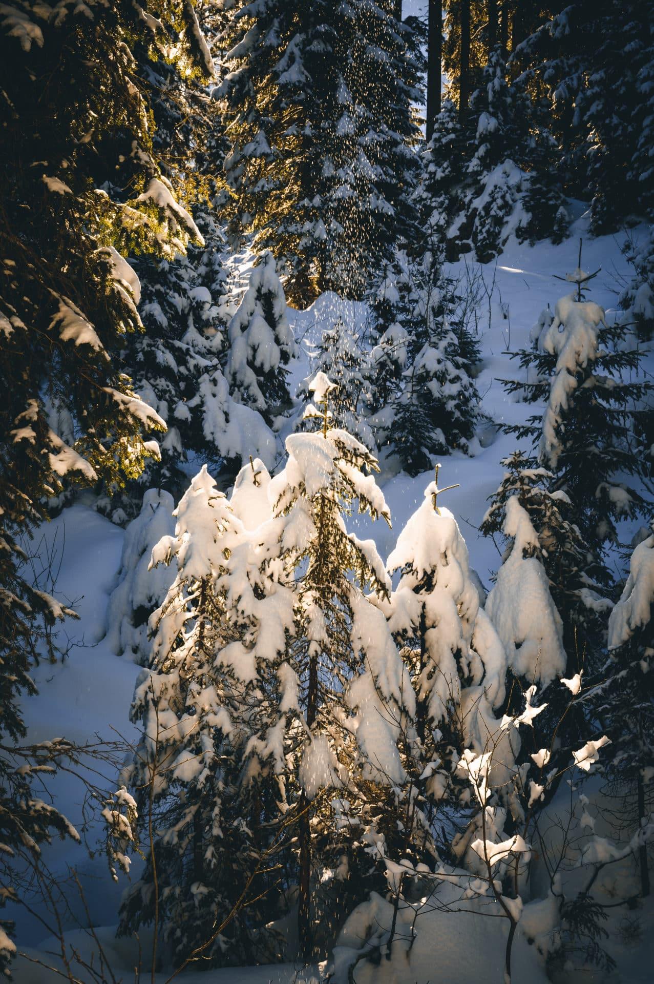 Schneebedeckte Bäume auf der Klewenalp