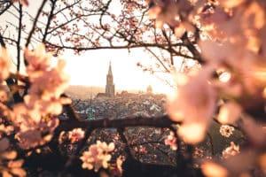 Kirschblüten in Bern